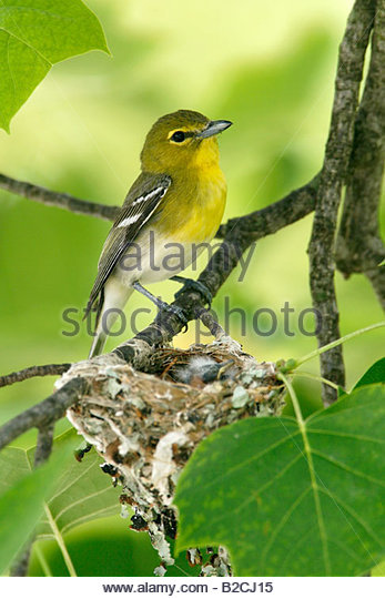 Yellow-throated Vireo coloring #13, Download drawings