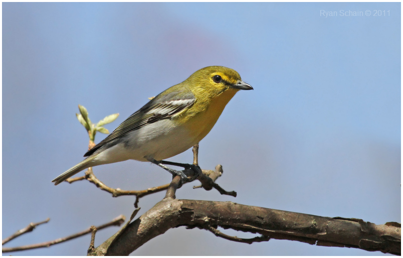 Yellow-throated Vireo clipart #9, Download drawings
