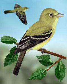 Yellow-throated Vireo coloring #12, Download drawings
