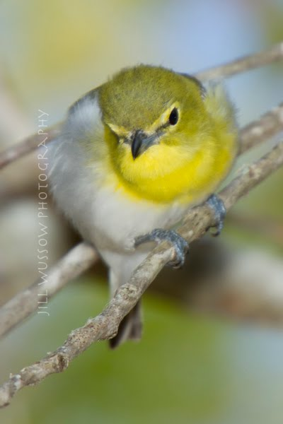 Yellow-throated Vireo coloring #3, Download drawings