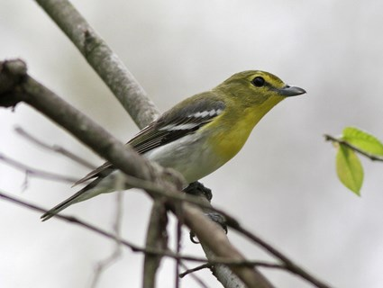 Yellow-throated Vireo coloring #11, Download drawings
