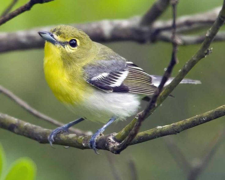 Yellow-throated Vireo coloring #10, Download drawings