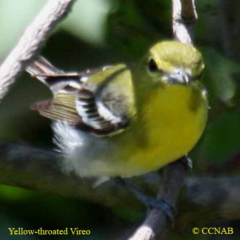 Yellow-throated Vireo coloring #6, Download drawings