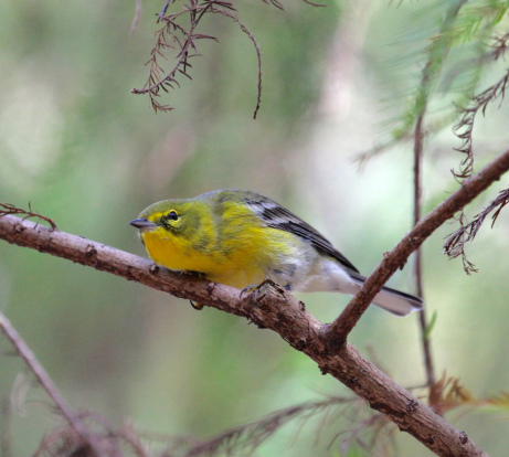 Yellow-throated Vireo coloring #2, Download drawings