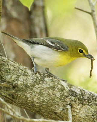 Yellow-throated Vireo coloring #4, Download drawings