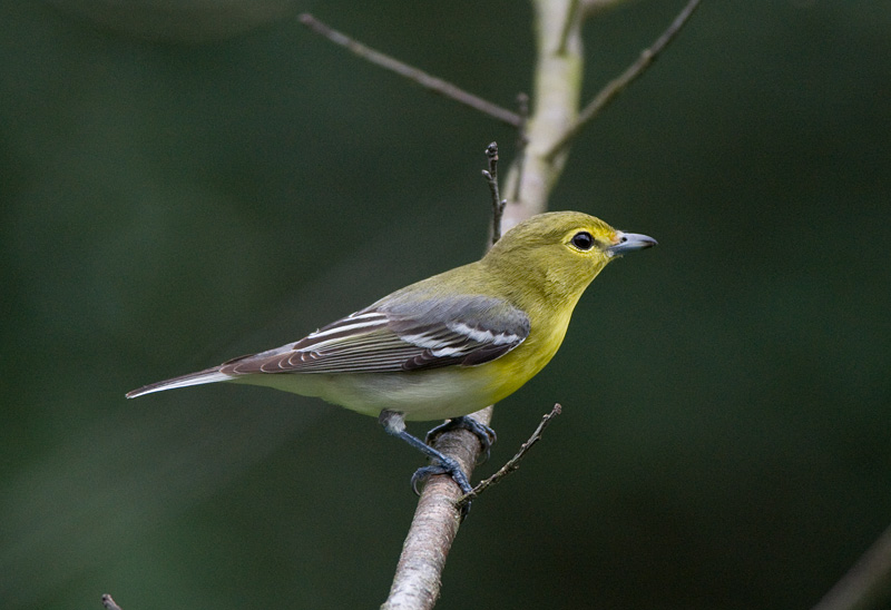 Yellow-throated Vireo coloring #8, Download drawings