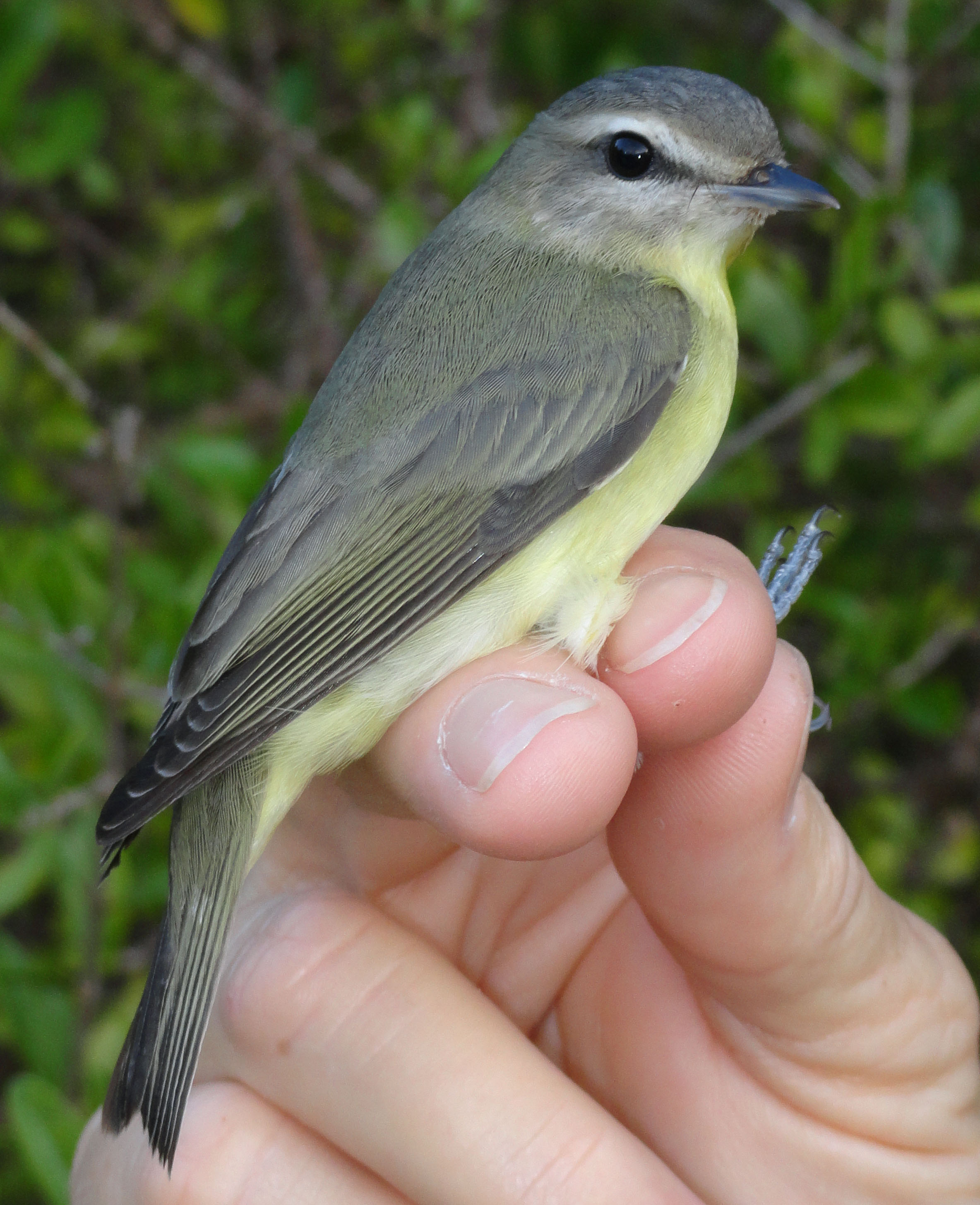 Yellow-throated Vireo coloring #5, Download drawings