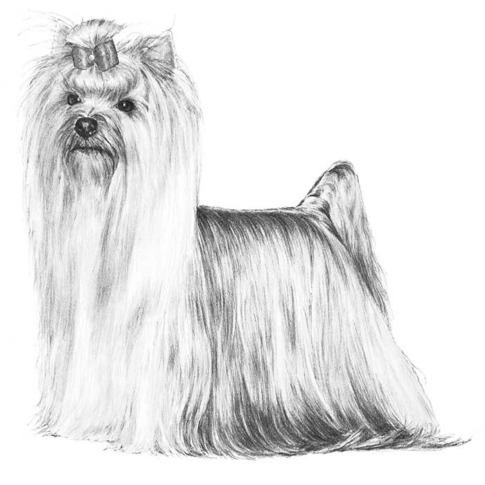 Yorkshire Terrier coloring #1, Download drawings