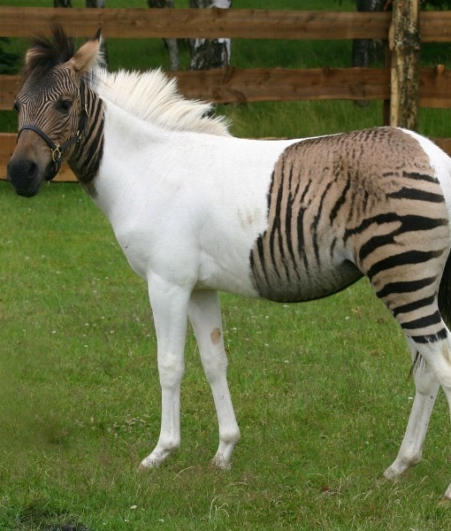 Zebroid clipart #16, Download drawings