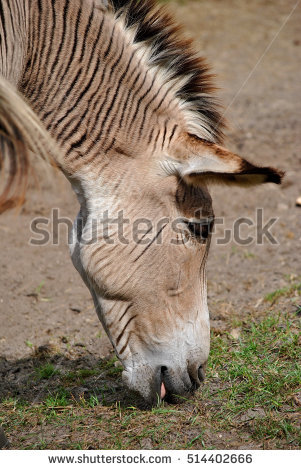 Zebroid clipart #9, Download drawings