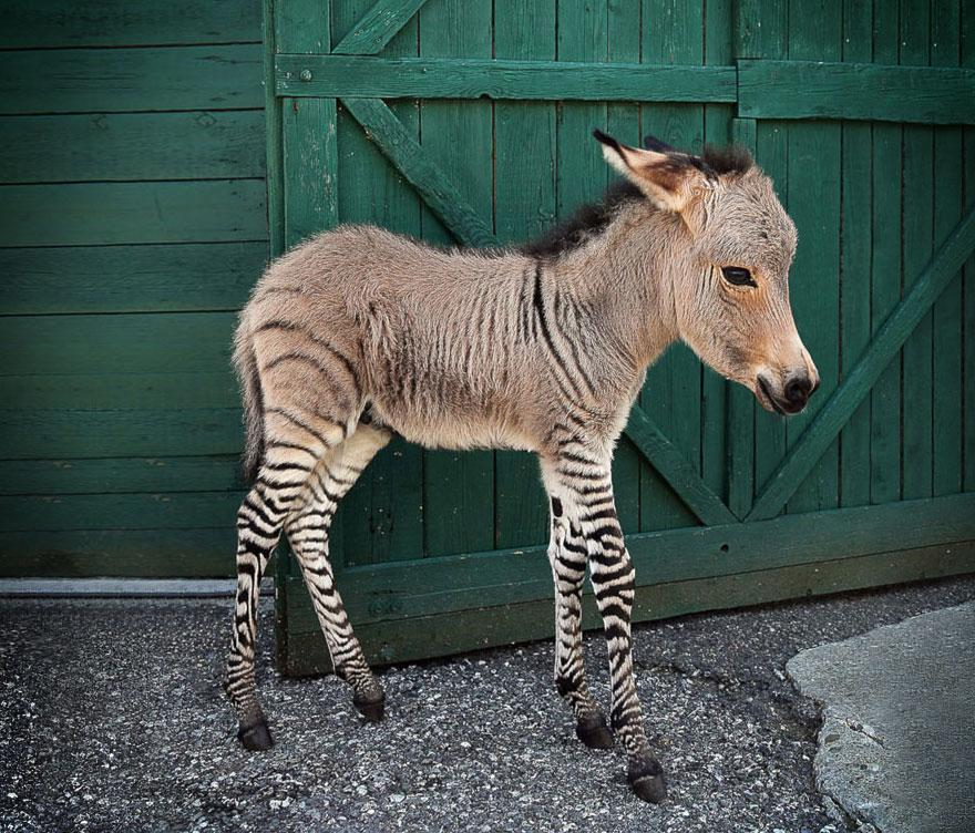 Zebroid clipart #20, Download drawings