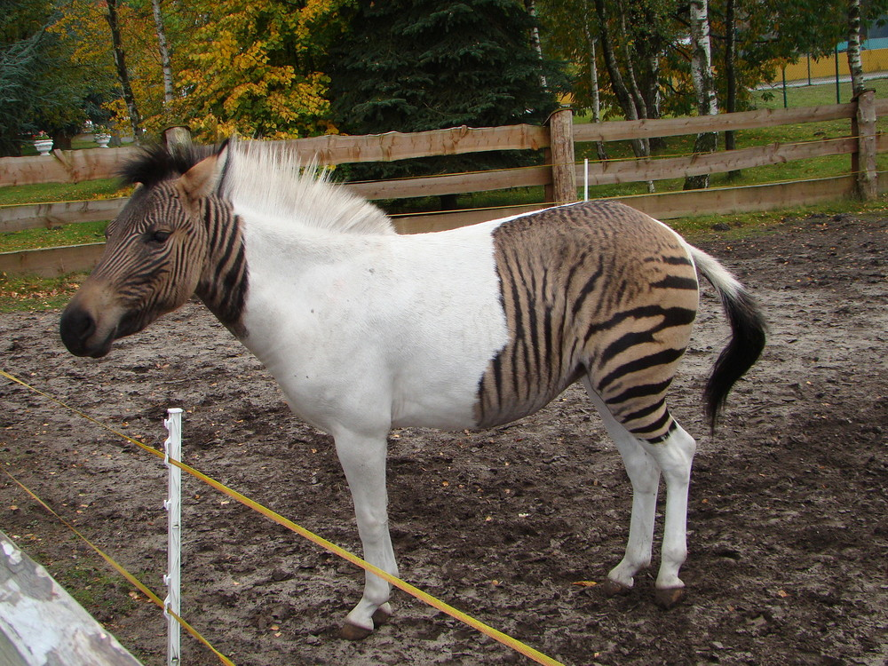 Zebroid clipart #8, Download drawings