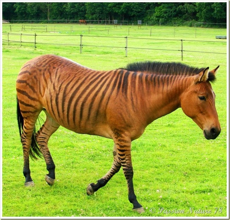 Zebroid clipart #6, Download drawings