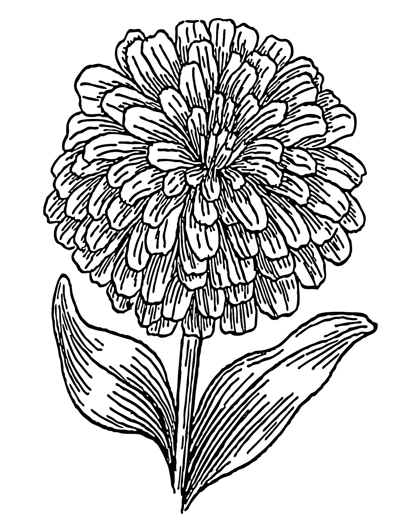 Zinnia coloring #18, Download drawings