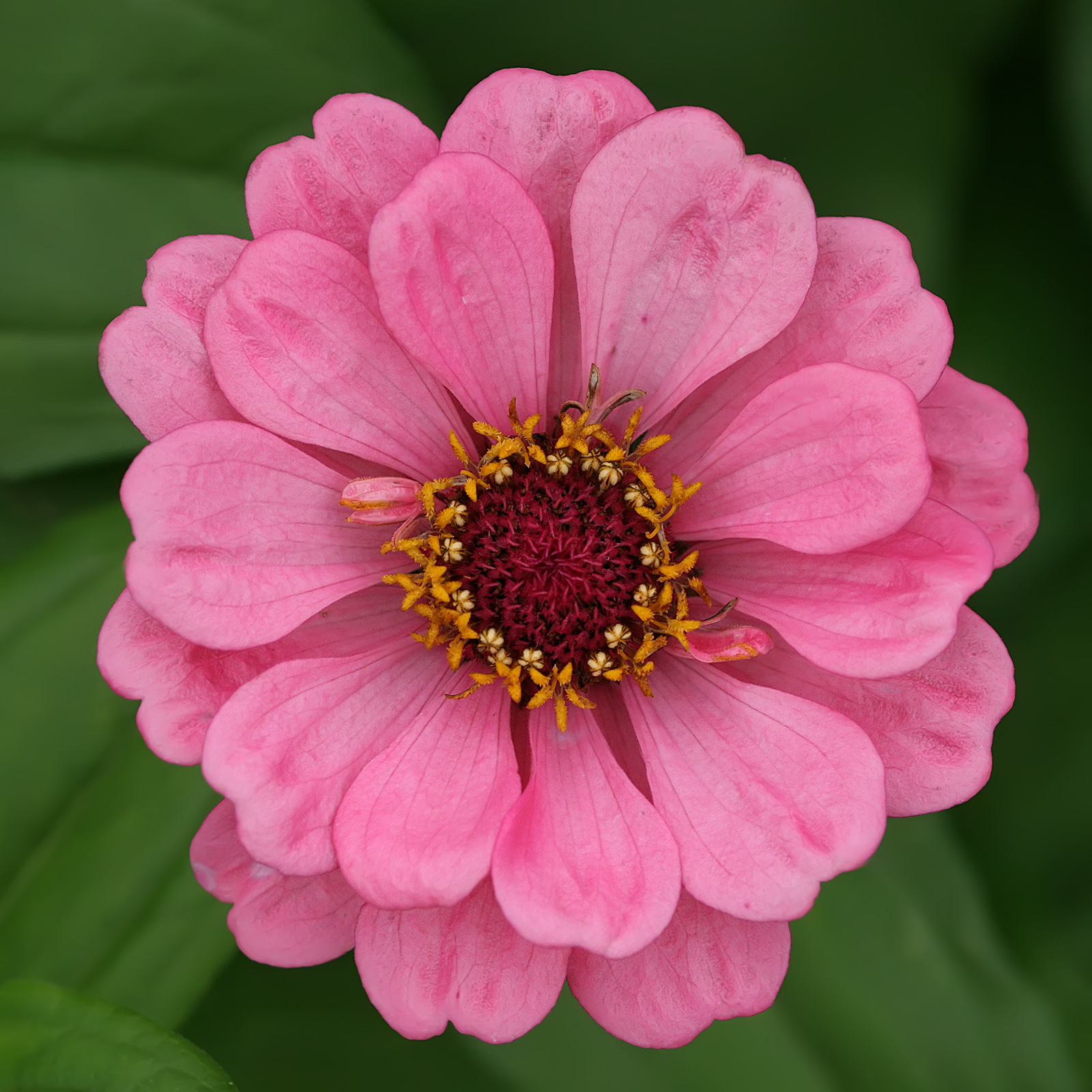 Zinnia svg #5, Download drawings