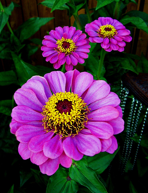 Zinnia svg #6, Download drawings