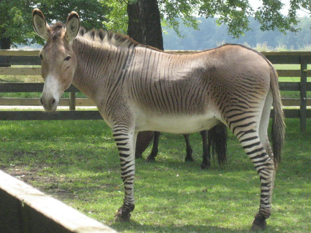 Zonkey svg #13, Download drawings