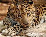 Amur Leopard svg