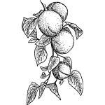 Apricot svg