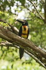 Collared Aracari coloring