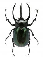 Rhinoceros Beetle clipart