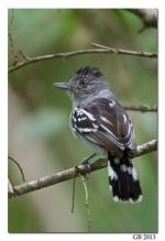 Bar-crested Antshrike svg