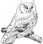 Horned Owl coloring