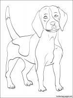 Beagle coloring