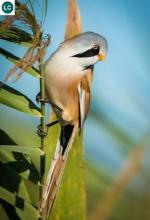 Bearded Reedling coloring