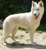 Berger Blanc Suisse coloring