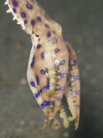 Blue Ringed Octopus svg