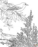 Eastern Bluebird coloring