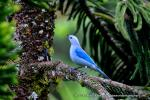 Blue-grey Tanager svg