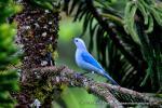 Blue-grey Tanager svg
