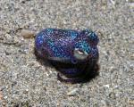 Bobtail Squid coloring