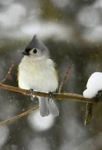Tufted Titmouse svg