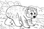 Brown Bear coloring