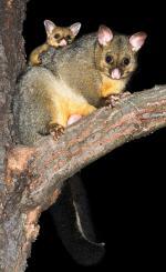 Brushtail Possum coloring