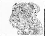 Bullmastiff coloring