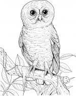 Burrowing Owl coloring
