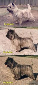 Cairn Terrier coloring