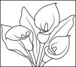 Calla Lily coloring