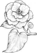 Camellia coloring