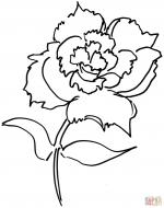 Carnation coloring