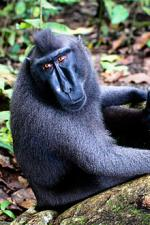 Celebes Crested Macaque coloring