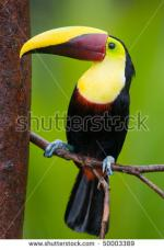 Chestnut-mandibled Toucan clipart