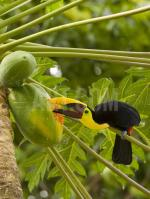 Chestnut-mandibled Toucan coloring