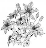Clematis coloring