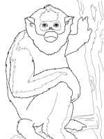 Colobus Monkey  coloring