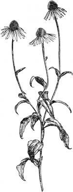 Rudbeckia clipart